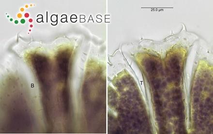 Turbinaria ornata f. evesiculosa (E.S.Barton) W.R.Taylor