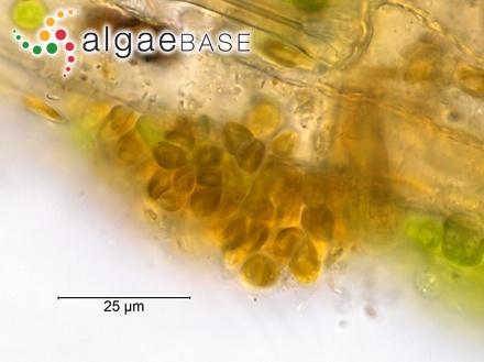 Turbinaria heterophylla Kützing