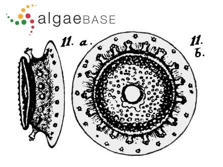 Rhodomela subfusca f. gracilior J.Agardh