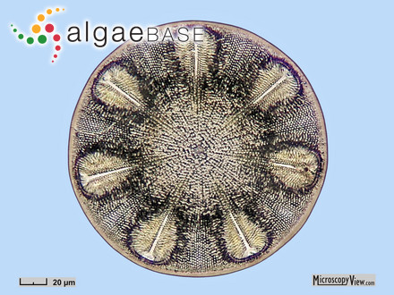Boryna elongata (Hudson) Bory