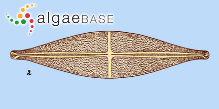 Sargassum ivanii Montagne