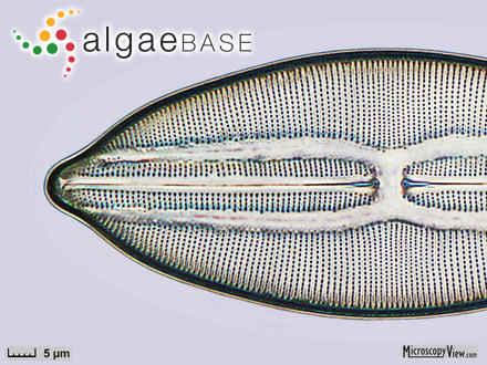 Caulerpa manorensis Nizamuddin