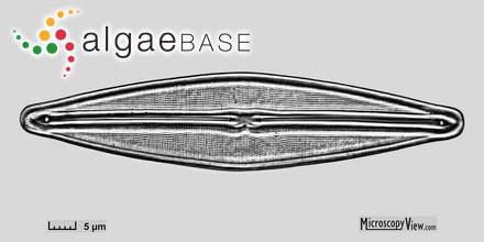 Nitophyllum albidum Ardissone