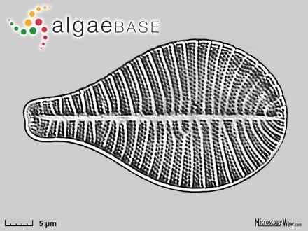 Sphacelaria cirrosa [cirrhosa] var. gracilis (Lyngbye) Hornemann