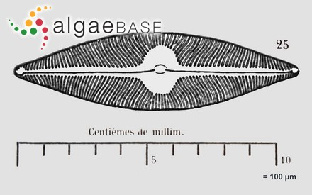 Polysiphonia microdendron J.Agardh