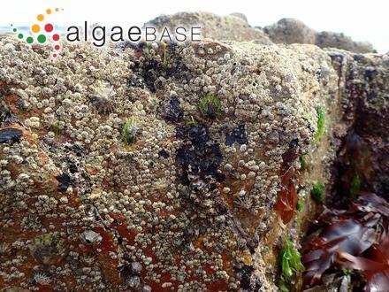 Navicula cincta (Ehrenberg) Ralfs
