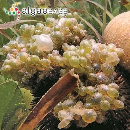 Trachelomonas bulla var. australis Playfair