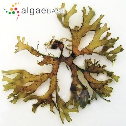 Trachelomonas crebea Kellicott