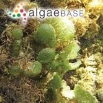 Dictyosphaeria cavernosa (Forsskål) Børgesen