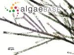 Sphacelaria rigidula Kützing