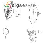 Sargassum pteropleuron Grunow