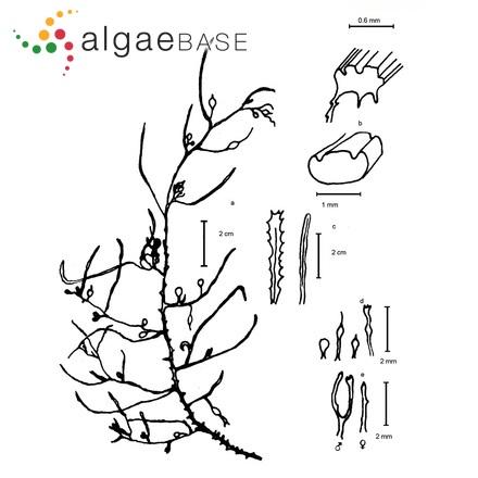 Trachelomonas hexangulata var. repanda Prescott
