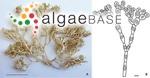 Neoizziella divaricata (C.K.Tseng) S.-M.Lin, S.-Y.Yang & Huisman