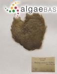Cladophora membranacea (Hofman Bang ex C.Agardh) Kützing