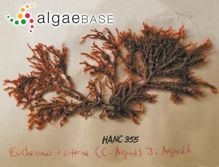 Trachelomonas planctonica var. longicollis Skvortzov