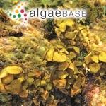 Sargassum turbinatum (Linnaeus) C.Agardh