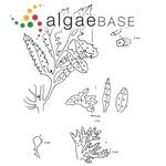 Sargassum vulgare f. furcatum (Kützing) J.Agardh