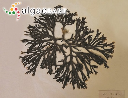 Trachelomonas scabra var. longicollis Playfair