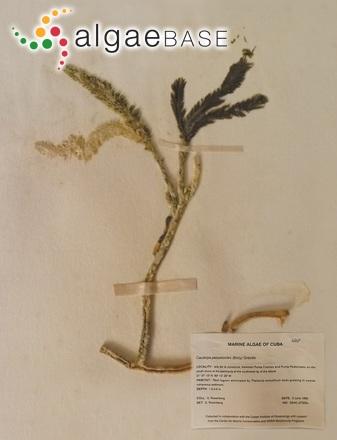 Caulerpa paspaloides (Bory) Greville
