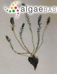 Batophora oerstedii J.Agardh