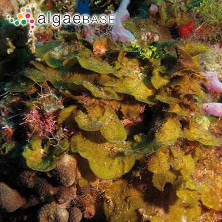 Trachelomonas volvocina (Ehrenberg) Ehrenberg