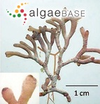 Liagora ceranoides J.V.Lamouroux
