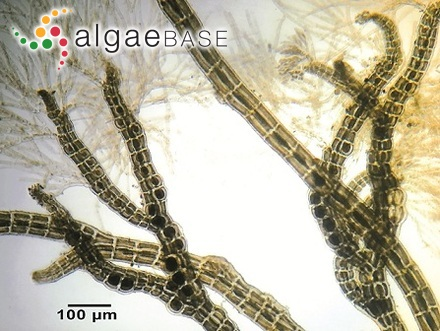 Peranema tricophorum (Ehrenberg) Playfair
