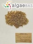 Corallina cubensis (Montagne ex Kützing) Kützing