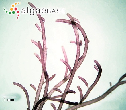 Achnanthes calcar var. pulcherrima Playfair