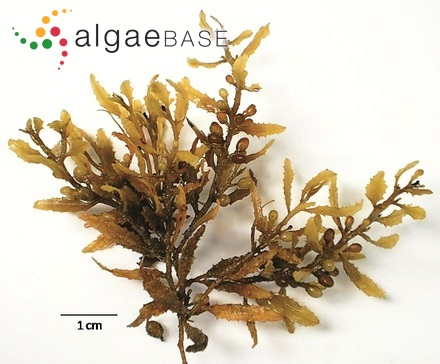 Achnanthes laterostrata Hustedt