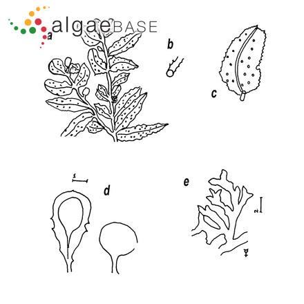 Achnanthes nodosa Cleve
