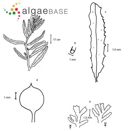 Achnanthes pusilla Grunow