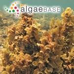 Sargassum polyceratium var. ovatum (Collins) W.R.Taylor