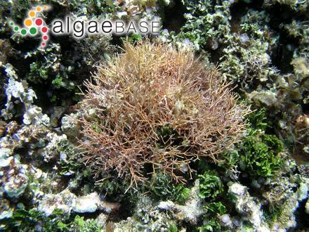 Amphiroa fragilissima (Linnaeus) J.V.Lamouroux