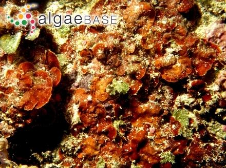 Mesophyllum aleuticum Lebednik