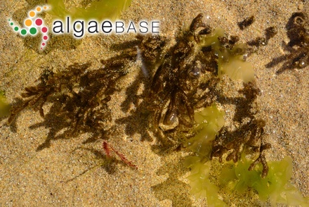Polysiphonia fasciculata Harvey ex Moore