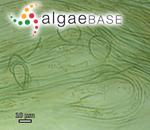 Geitlerinema amphibium (C.Agardh ex Gomont) Anagnostidis