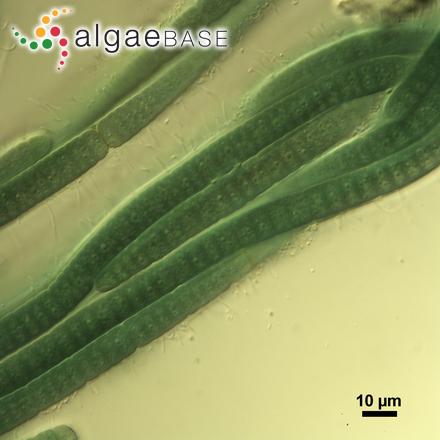 Nitzschia lanceolata W.Smith