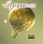 Nostoc microscopicum Carmichael ex Bornet & Flahault