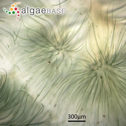 Cymbella aspera (Ehrenberg) Cleve