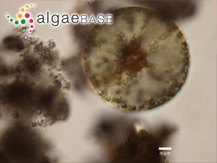 Dicurella fragilis (C.Agardh) J.Agardh