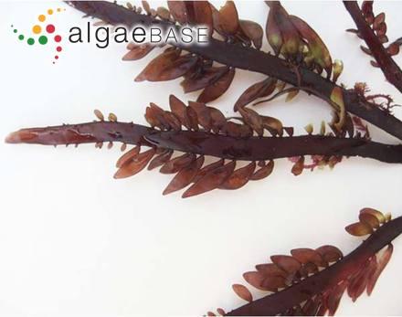 Navicula lanceolata var. arenaria (Donkin) Van Heurck