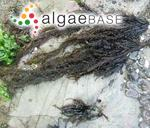 Mazzaella leptorhynchos (J.Agardh) Leister