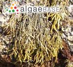 Ascophyllum compressum (J.Agardh) Kuntze