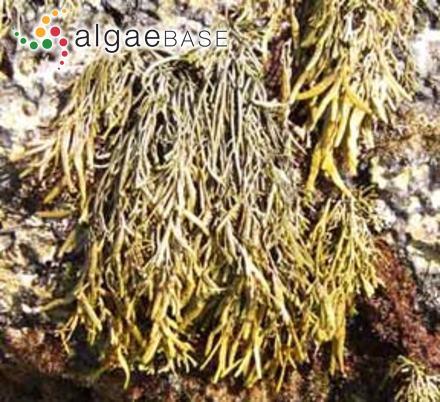 Navicula lateropunctata J.H.Wallace