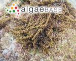 Sargassum agardhianum Farlow