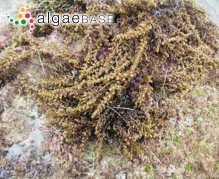 Navicula placentula (Ehrenberg) Kützing