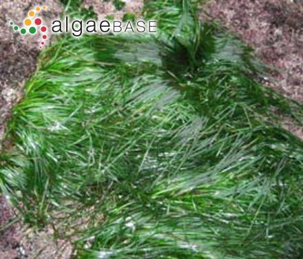 Navicula pseudosilicula Hustedt