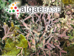 Amphiroa foliacea J.V.Lamouroux