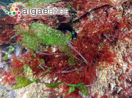 Stauroneis anceps Ehrenberg